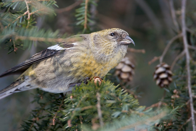 White-winged Crossbill - Monclova, Ohio - January 2009