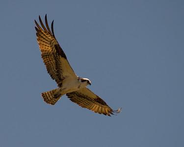 Osprey, Verdi Nevada