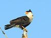 Crested Caracara, Viera Wetlands, Viera, Florida