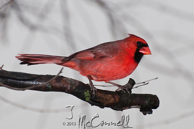 Male Cardinal Posing
