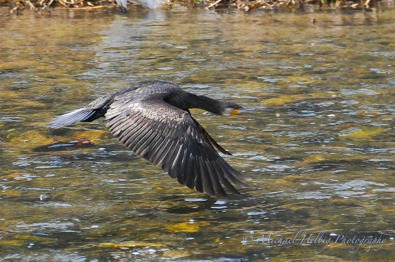 Cormorant - Kyoto