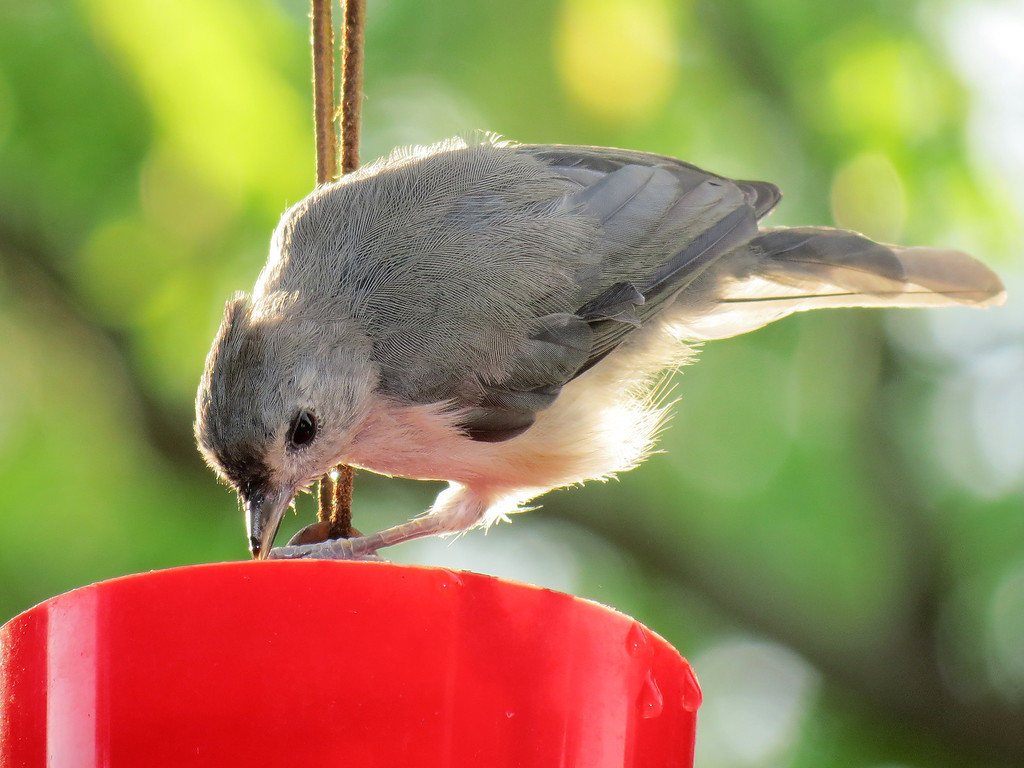 A Titmouse at the small cup bird bath.<br /> This red cup used to be an ant guard for the hummingbird feeder<br /> but these have become a favorite watering hole for some of the birds.<br /> We have noticed that they like to stick their heads into the water to cool off.
