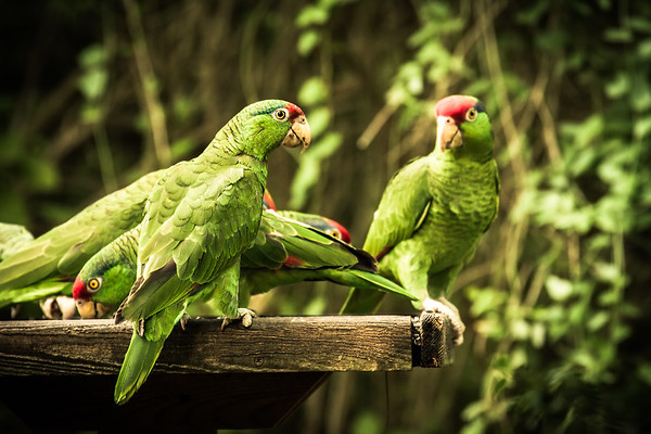 Red-crowned (Amazons) Parrots