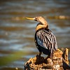 Female Anhinga Resting in the Viera Wetlands