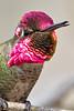 Male Anna's Hummingbird singing