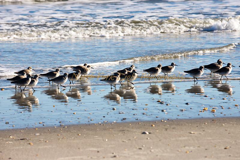 Shore birds-Dunlins