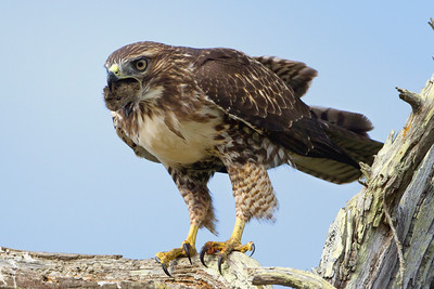 Good-bye Cruel World ~ Red-tailed hawk with a mouthful