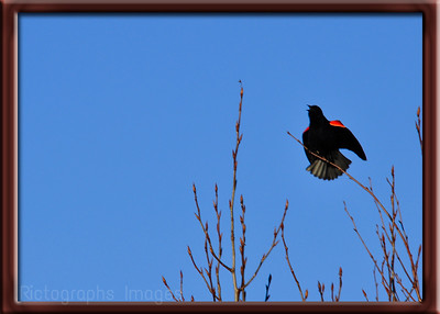 Bird, Redwing Blackbird, Blue, 272