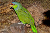 Blue-headed parrot #6