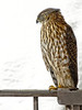 Coopers Hawk - Film Grain Filter