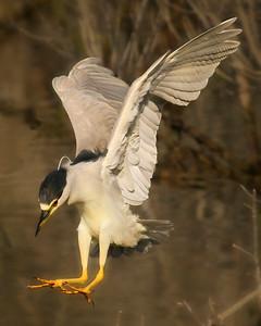 Long Jump ~ Black Crowned Night Heron