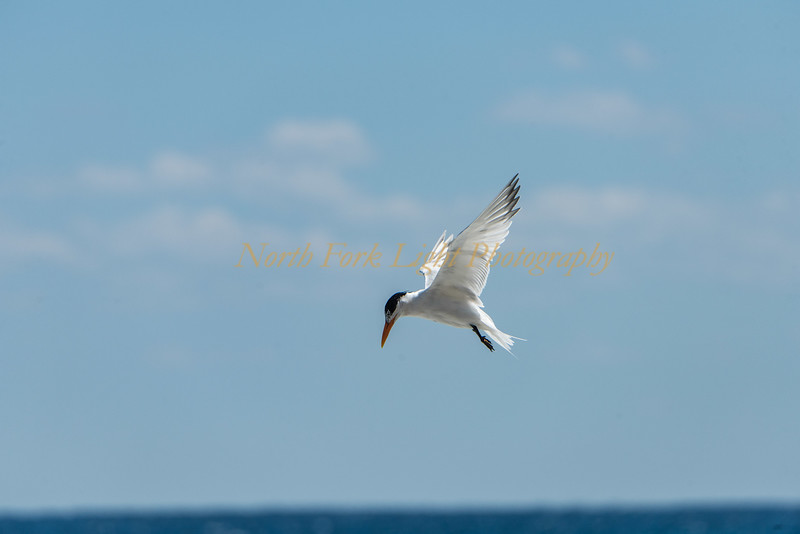 These terns migrate up and down our coasts from the tropics to the tundra.