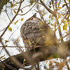 2018 Nov. 1  Great Horned Owl