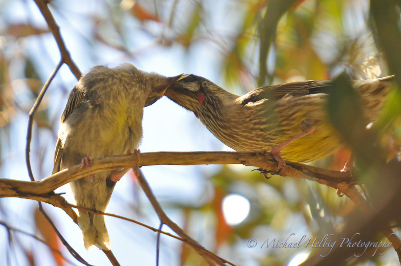Wattle birds: baby and parent