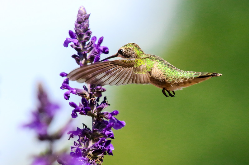 Hummingbird on Mystic Spires Salvia  5