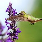 Hummingbird on Mystic Spires Salvia  5