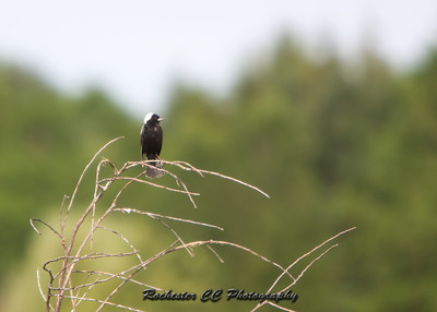 Bobolink singing in a field at Iroqouis National Refuge.