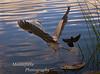 Great Blue Heron, Ardea herodias being harassed by Red winged Black Bird, Agelaius phoeniceus at Lake El Estero Monterey California