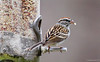 March 6, 2011-Chipping Sparrow, a few different bird species started to show up this week. This is one of them I haven't seen before. (Day 65 #365Project @sharkbayte)