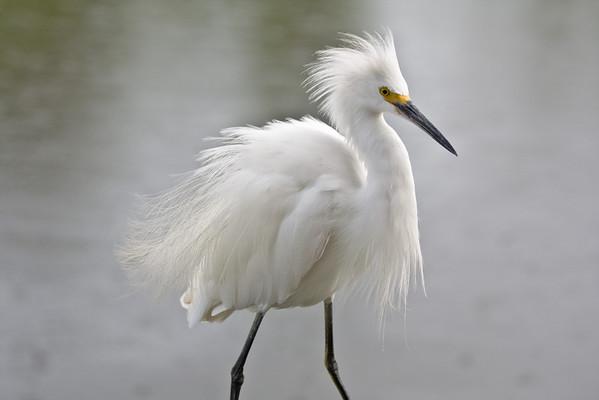 Snowy Egret - Gatorland, Orlando, Florida
