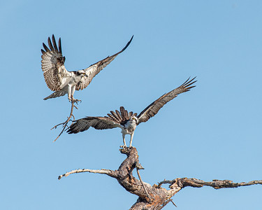 Osprey proudly displaying a stick for his mate