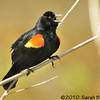 Male Red-winged Blackbird, singing<br /> <br /> Montgomery County, Maryland<br /> April 2010