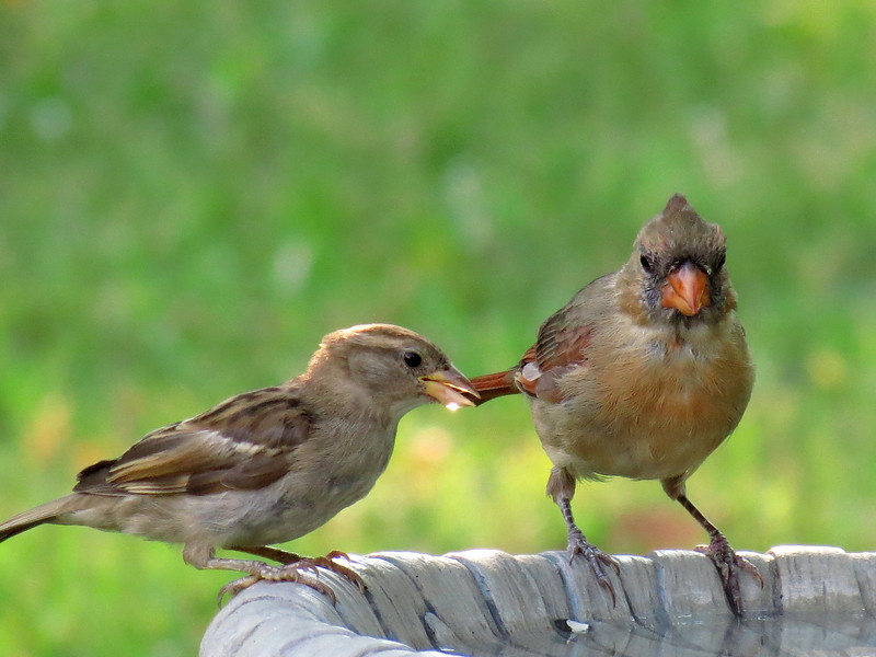 The Sparrow has a drop of water on its beak<br /> ... the Cardinal watches.