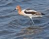 American Avocet - female