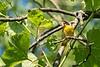 Common yellowthroat male, Kendall Lake, 07-13-2018