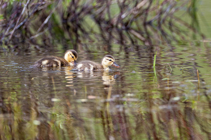 Mallard ducklings, Yellowstone National Park, Wyoming