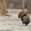 April morning in Michigan,<br /> male Wild Turkey & deer in snow<br /> <br /> West Oshtemo, Kalamazoo County, Michigan<br /> April 2009