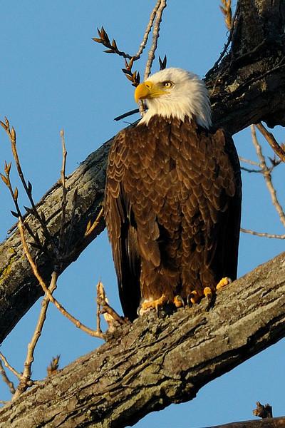 Bald Eagle in morning light<br /> Potomac River<br /> Alexandria, Virginia<br /> January 2009