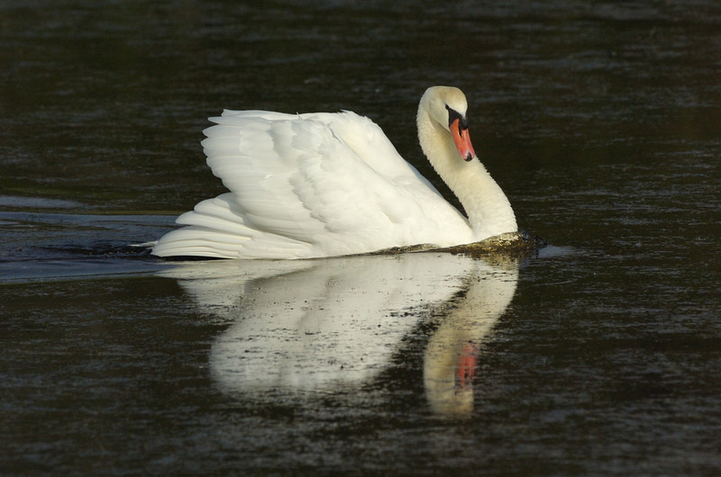 Mute Swan, Cape May National Wildlife Refuge, New Jersey
