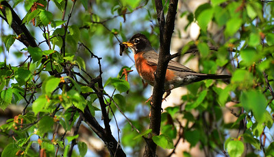 Robin, Bird, Birding, Green,  145