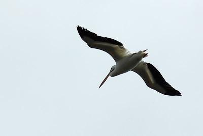 Pelican at Sepulveda Basin Wildlife Reserve.