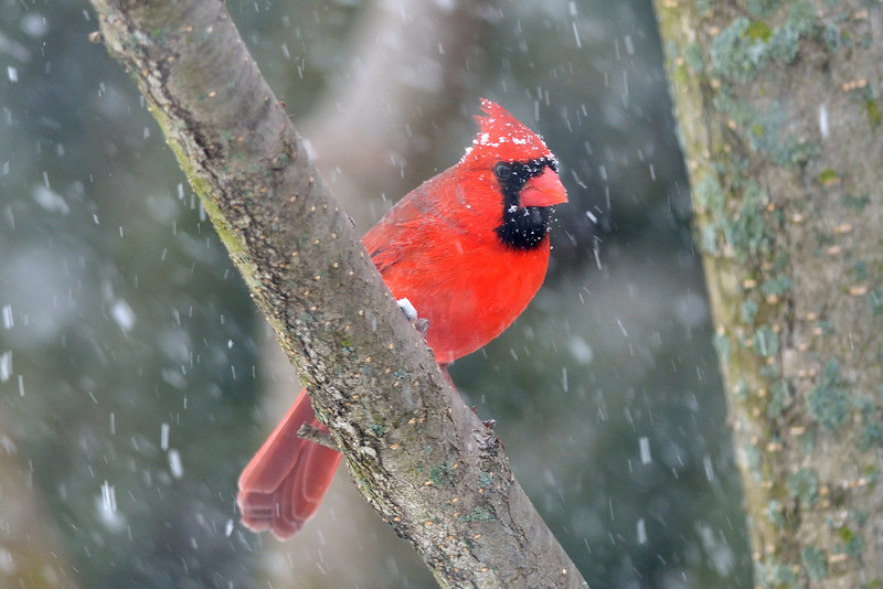 Cardinal during winter storm