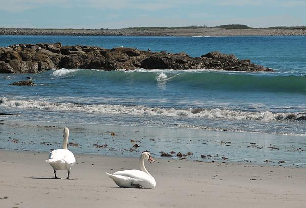Gloucester MA - Swans near Little Good Harbor