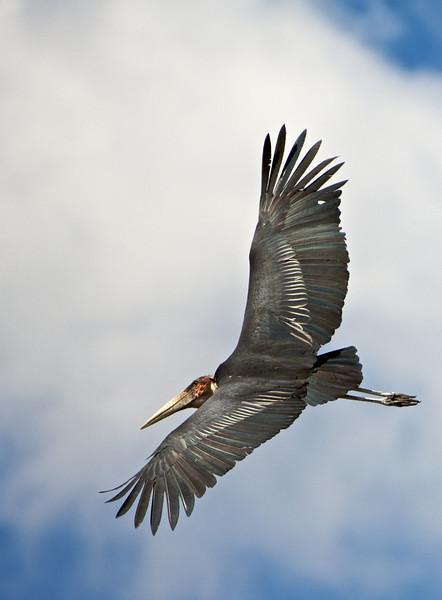 Yellow-Billed Stork, Chobe River, Botswana