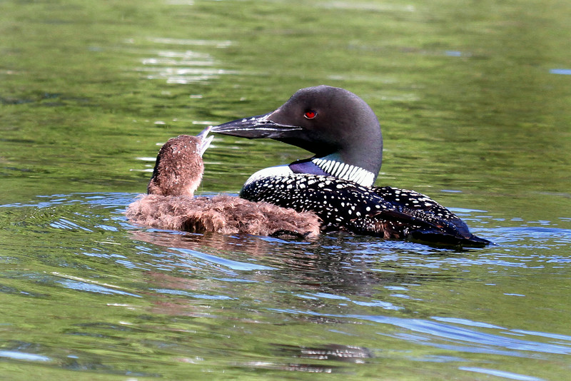 Loon With Chick  2