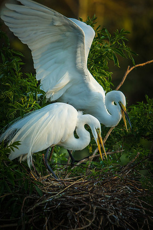 Great Egrets Checking Eggs