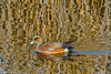 American Wigeon at Colusa Refuge 1-2012 #10