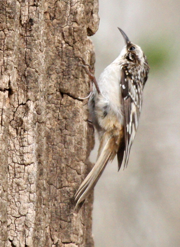 A brown creeper (Certhia americana) clinging to the side of a tree (2009_03_07_012364)