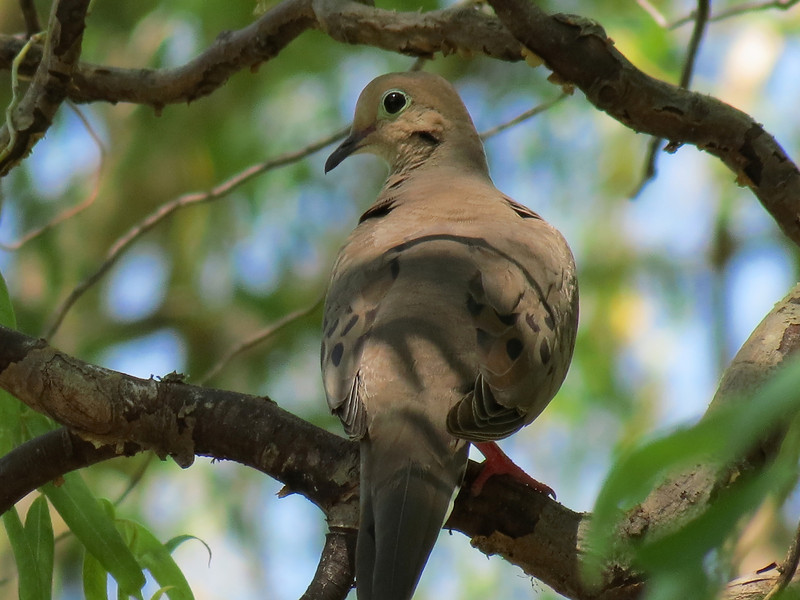 Mourning Dove on a 104 degree afternoon.