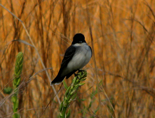 An eastern kingbird (Tyrannus tyrannus) perched on a plant in the middle of a field (20080426_04631)