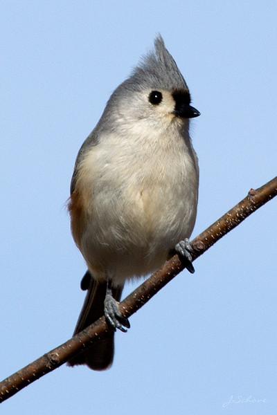 IMAGE: http://jschove.smugmug.com/Nature/Birds/i-qjz2kCP/0/L/TuftedTitmouse_7780_crop-L.jpg