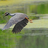 <strong><center>The Yellow-crowned Night Heron [Nyctanassa violacea]</center></strong> The Yellow crowned Night Heron is also called the American Night Heron or squawk, and is a fairly small heron, similar in appearance to the Black-crowned Night Heron. It is found throughout a large part of the Americas, especially (but not exclusively) in warmer coastal regions; like this one from Brazons Bend State Park in Texas.