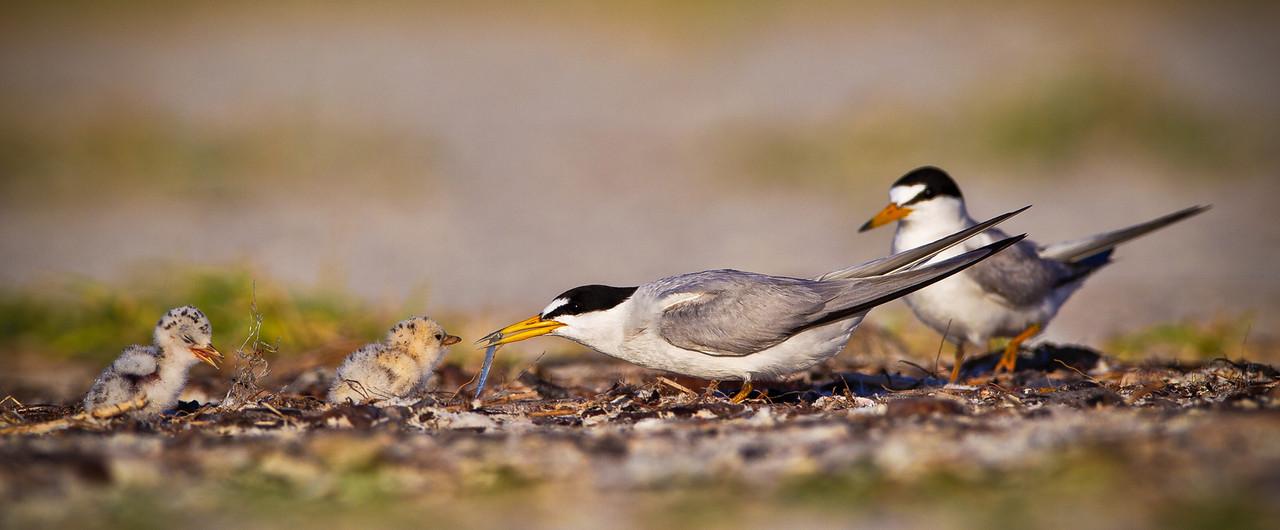 Least Tern Family Pano