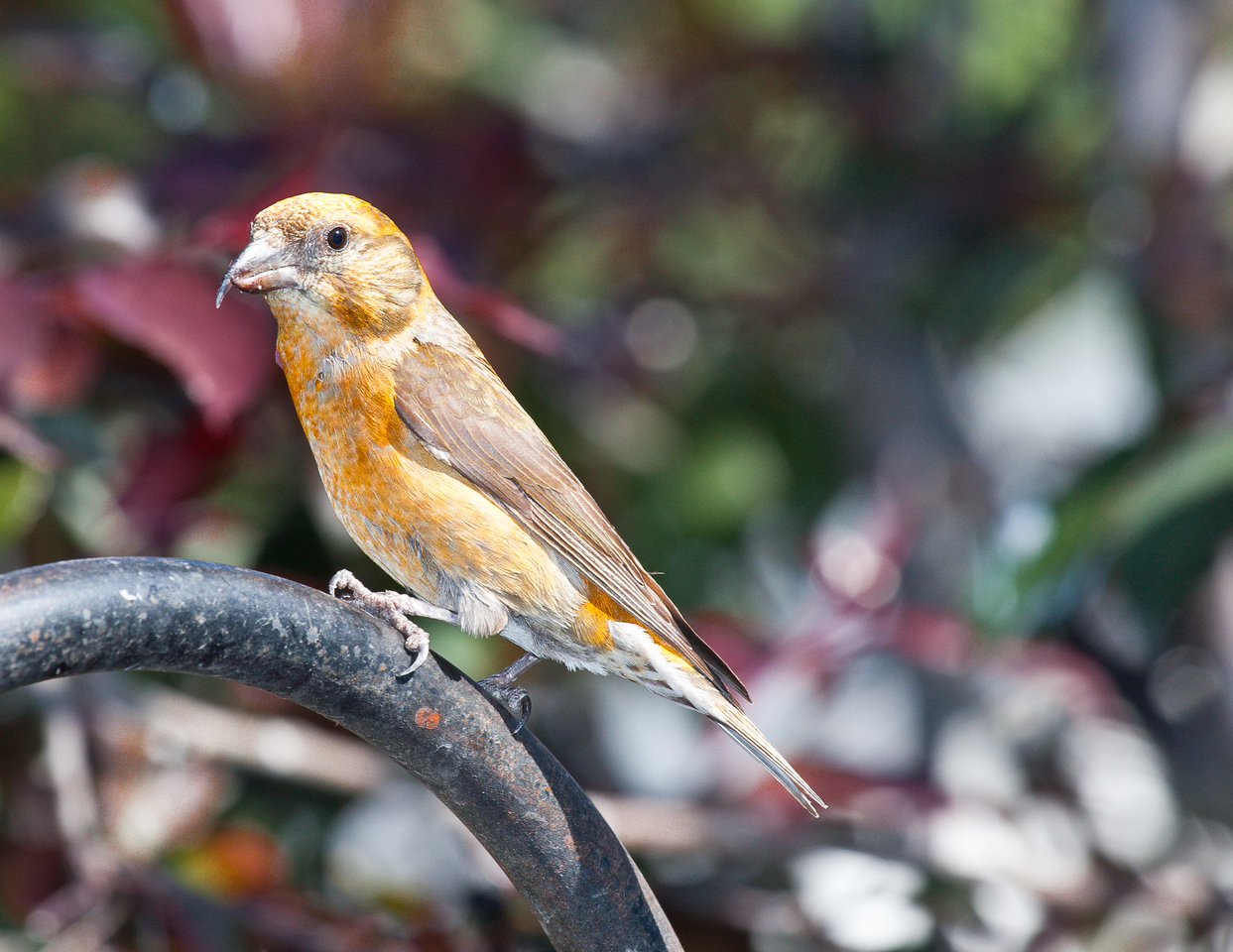 100-400mmL crossbill crop