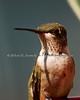 Ruby Throat Hummingbird - First year male