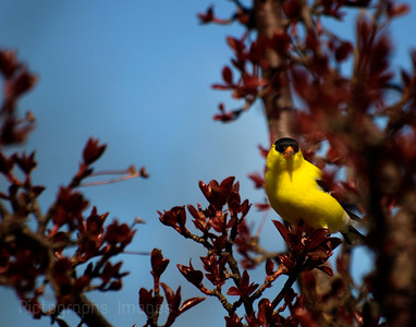 Nature, Photography, Bird, Goldfinch, blue, 5301
